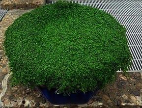 Pot Plant Mint