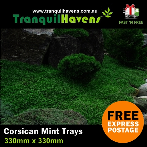 Corsican Mint Trays