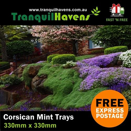 Corsican Mint In Rockery