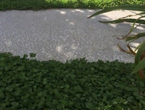 Dichondra Plant Tiles Path