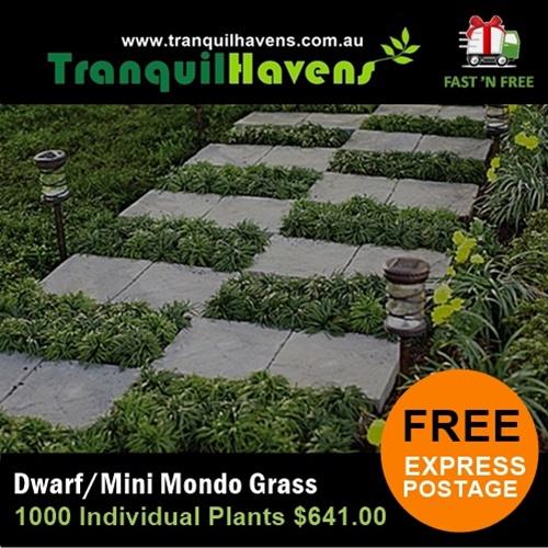 Potts Point Dwarf Mondo Grass
