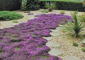 Creeping Thyme Steppers