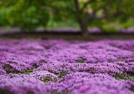 Ground Cover Thyme Meadow