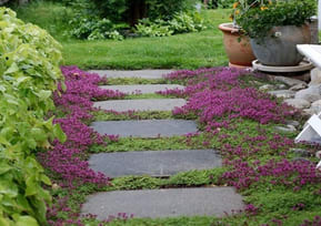 Pathway Thyme