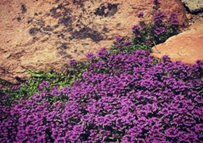Rock Feature Thyme