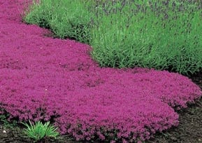 Mixed Planting Thyme